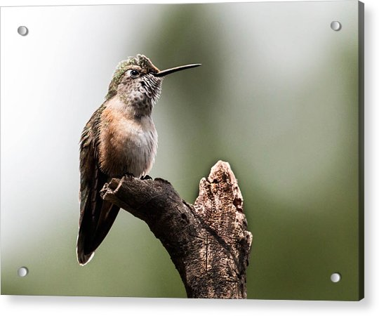 Broad-tailed Hummingbird Sit  Acrylic Print
