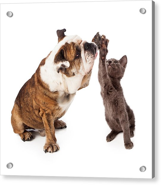 Bulldog And Kitten High Five  Acrylic Print