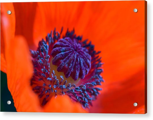 Bursting With Colour Acrylic Print