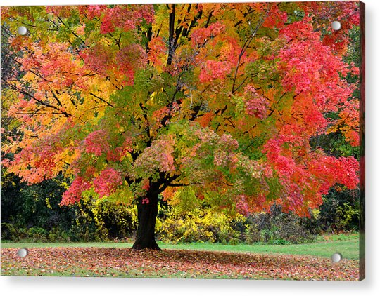 Busse Woods Fall Color Acrylic Print