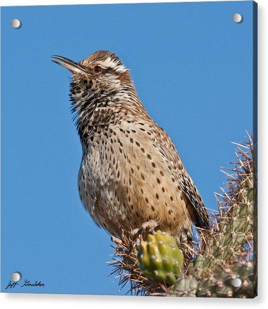 Cactus Wren Singing Acrylic Print