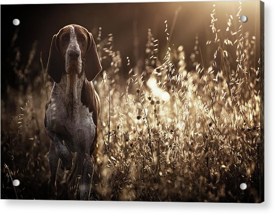 Caju Acrylic Print by Alexandre Marques