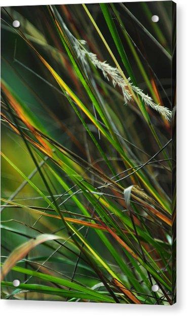Calamagrostis Lines Acrylic Print