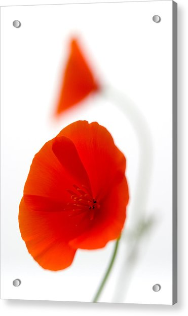 Californian Poppies 2 Acrylic Print