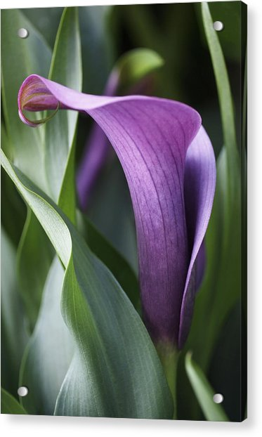 Acrylic Print featuring the photograph Calla Lily In Purple Ombre by Rona Black