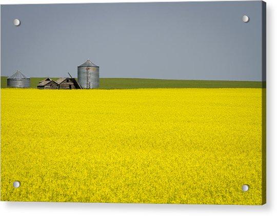 Canola Field Acrylic Print