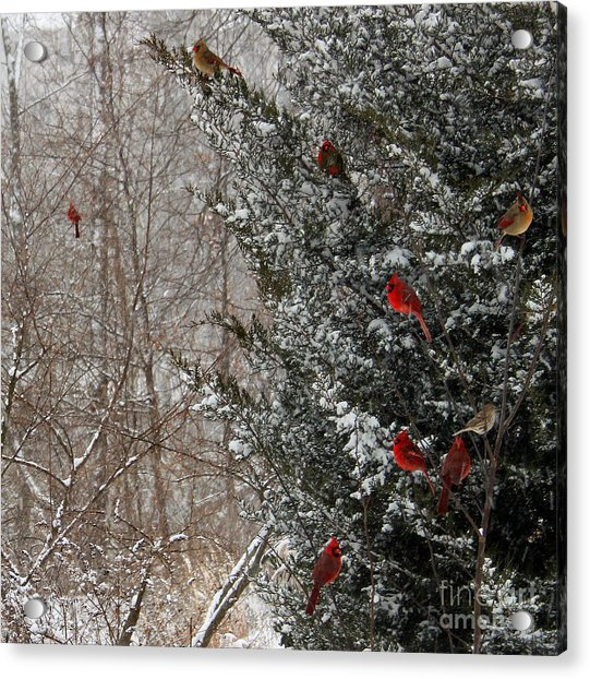 Cardinals In Winter 1 Square Acrylic Print