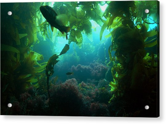 Catalina Kelp Forest Acrylic Print