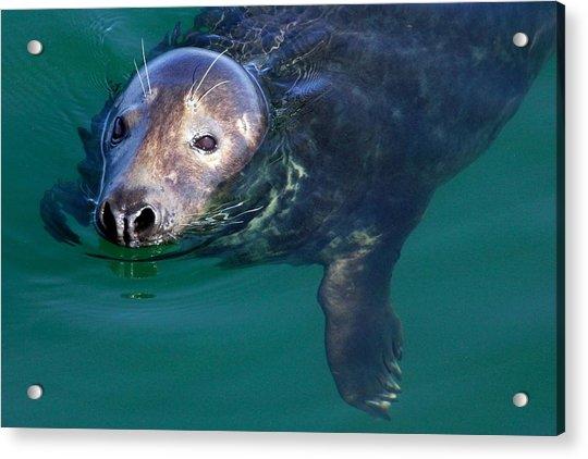 Chatham Harbor Seal Acrylic Print