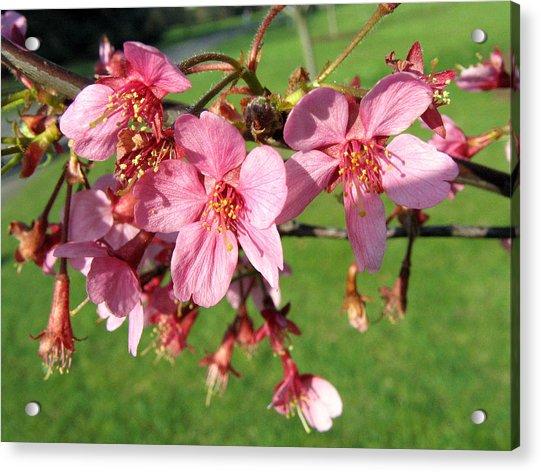 Cherry Blossom 2 Acrylic Print