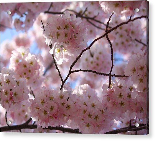 Cherry Blossoms And Blue Sky-1 Acrylic Print