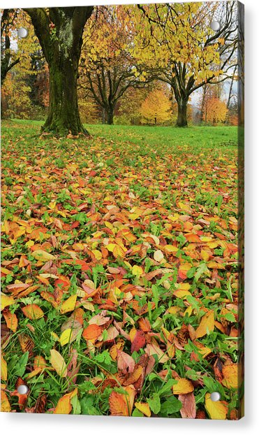 Cherry Tree Fall Colors In Orchard Acrylic Print by Rolf Nussbaumer