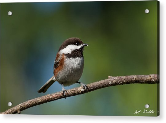 Chestnut Backed Chickadee Perched On A Branch Acrylic Print