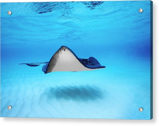 Close-up Of A Southern Stingray Acrylic Print