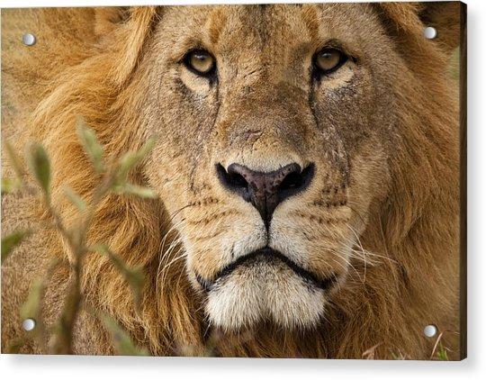 Close-up Portrait Of A Majestic Lion's Solemn Face Acrylic Print by WLDavies
