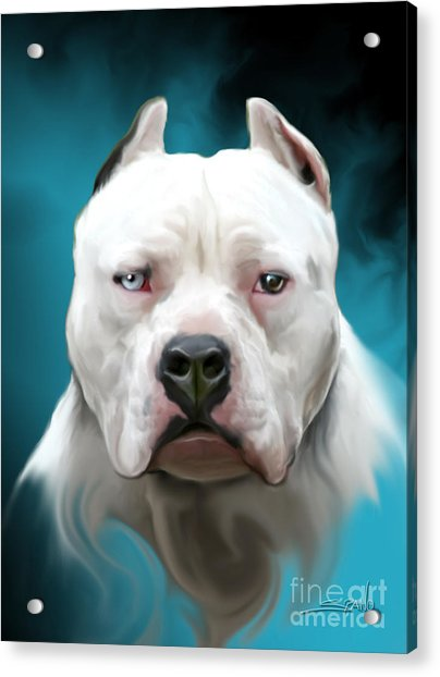 Cold As Ice- Pit Bull By Spano Acrylic Print