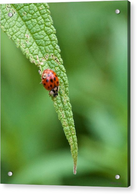Coming To The End Of The Leaf Acrylic Print