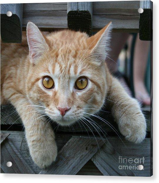 Cool Cat Named Calvin Acrylic Print