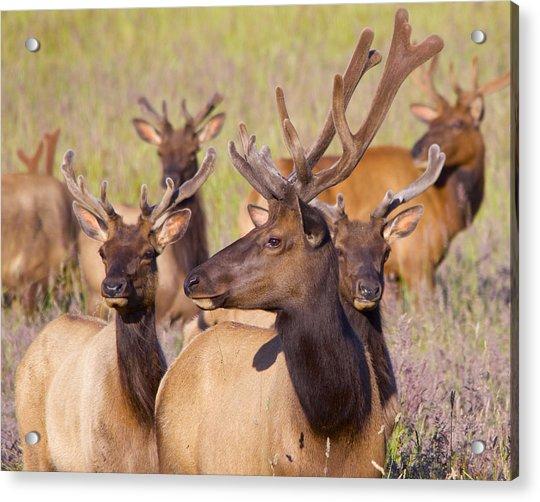 Curious Bull Elk Acrylic Print