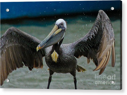Dancing With A Pelican Acrylic Print