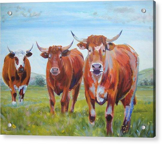 Devon Cattle Acrylic Print