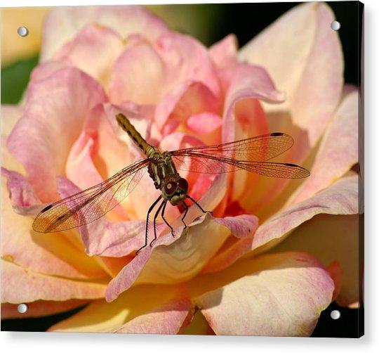 Dragonfly On A Rose Acrylic Print