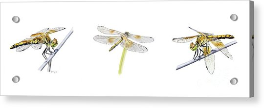 Dragonfly Trilogy Acrylic Print