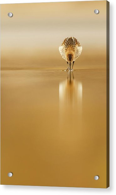 Dunlin Reflection Acrylic Print