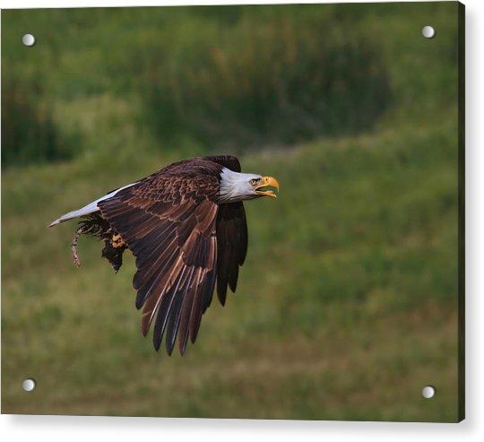 Eagle With Prey Acrylic Print