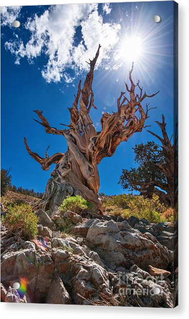 Eternity - Dramatic View Of The Ancient Bristlecone Pine Tree With Sun Burst. Acrylic Print