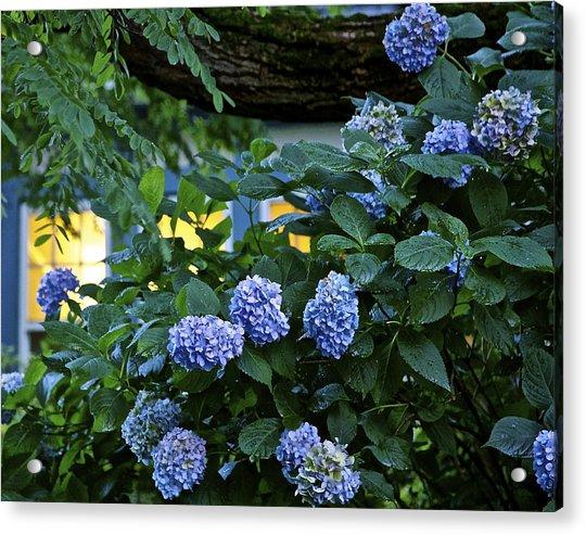 Evening Hydrangeas Acrylic Print