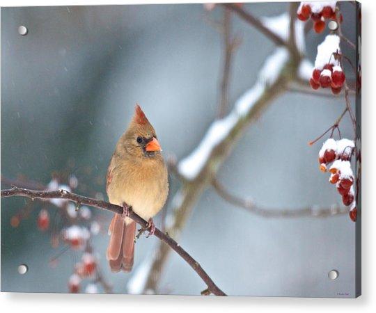Female Cardinal On Cherry Tree In Snow Acrylic Print