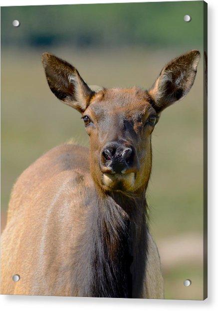 Female Elk Acrylic Print