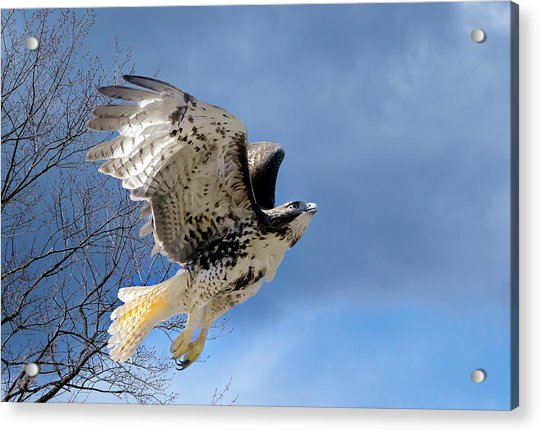 Flight Of The Red Tail Acrylic Print