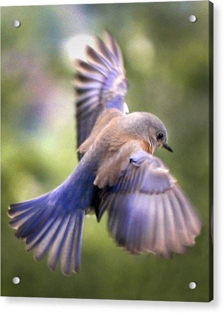 Flying Bluebird Acrylic Print