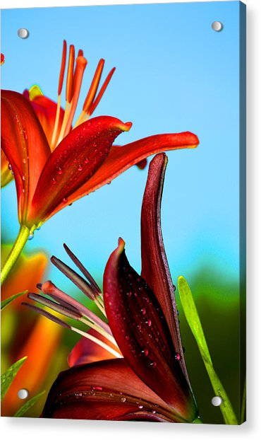 For The Love Of Lillies Acrylic Print