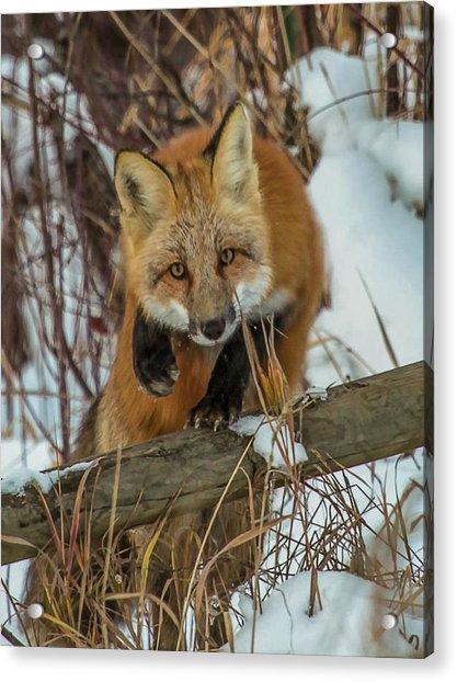 Fox Trot Acrylic Print