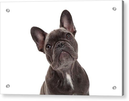 French Bulldog Closeup Acrylic Print