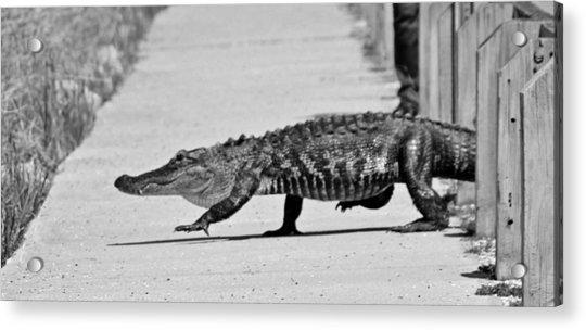Acrylic Print featuring the photograph Gator Walking by Cynthia Guinn