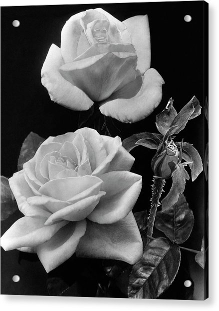 'george Arends' Roses Acrylic Print