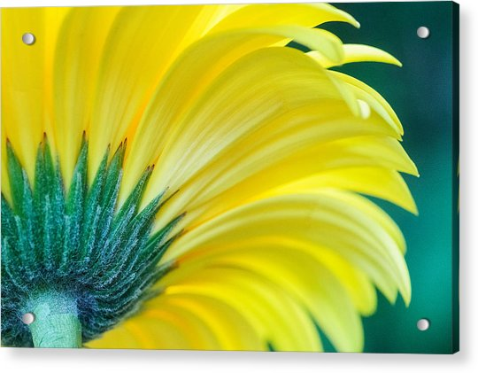 Acrylic Print featuring the photograph Gerber Daisy by Garvin Hunter