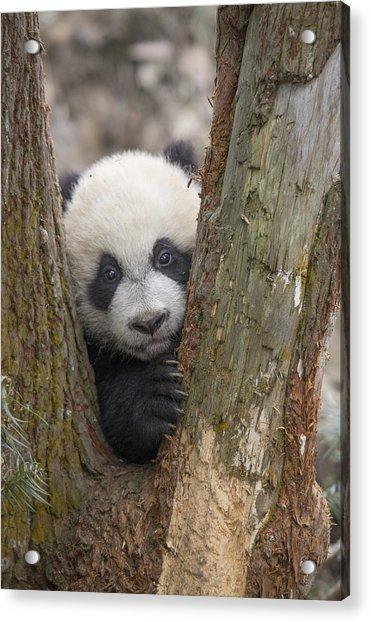 Giant Panda Cub Bifengxia Panda Base Acrylic Print