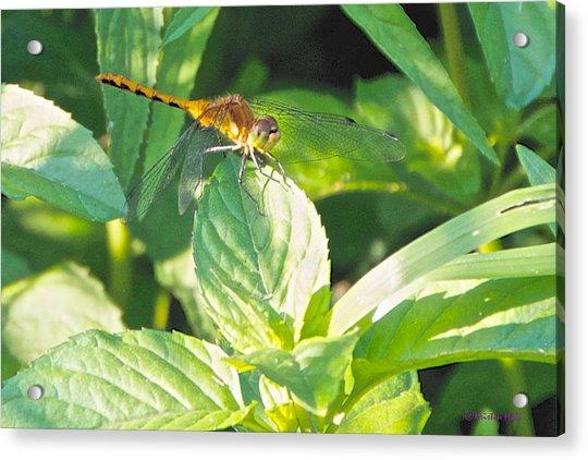 Golden Dragonfly On Mint Acrylic Print