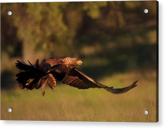 Golden Eagle On The Hunt Acrylic Print