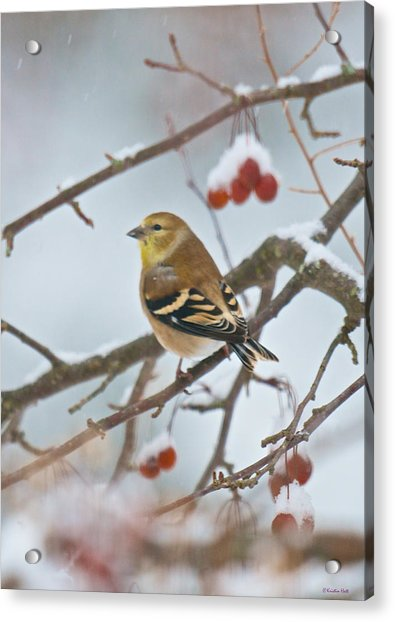 Goldfinch In Snow Acrylic Print