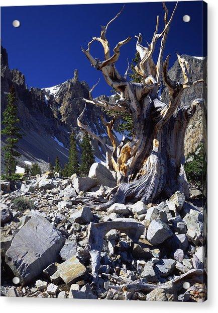 Great Basin Bristlecone Acrylic Print