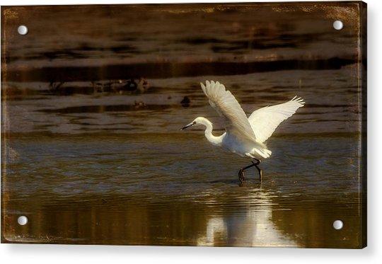 Great Egret Taking Off Acrylic Print