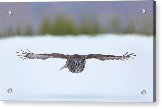 Great Gray Owl On The Hunt Acrylic Print