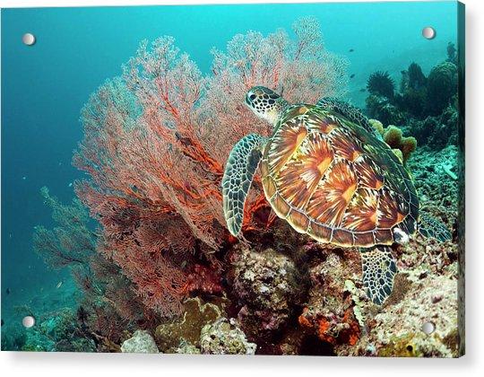Green Sea Turtle And Gorgonian Acrylic Print