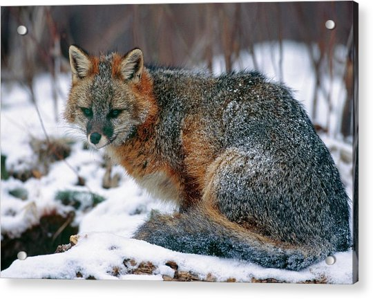 Grey Fox Acrylic Print by William Ervin/science Photo Library